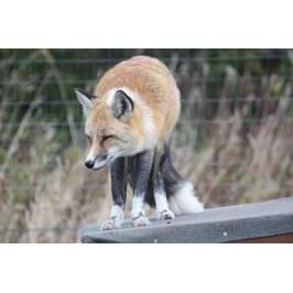 Fox Encounter for One at Ark Wildlife Park Other Experiences